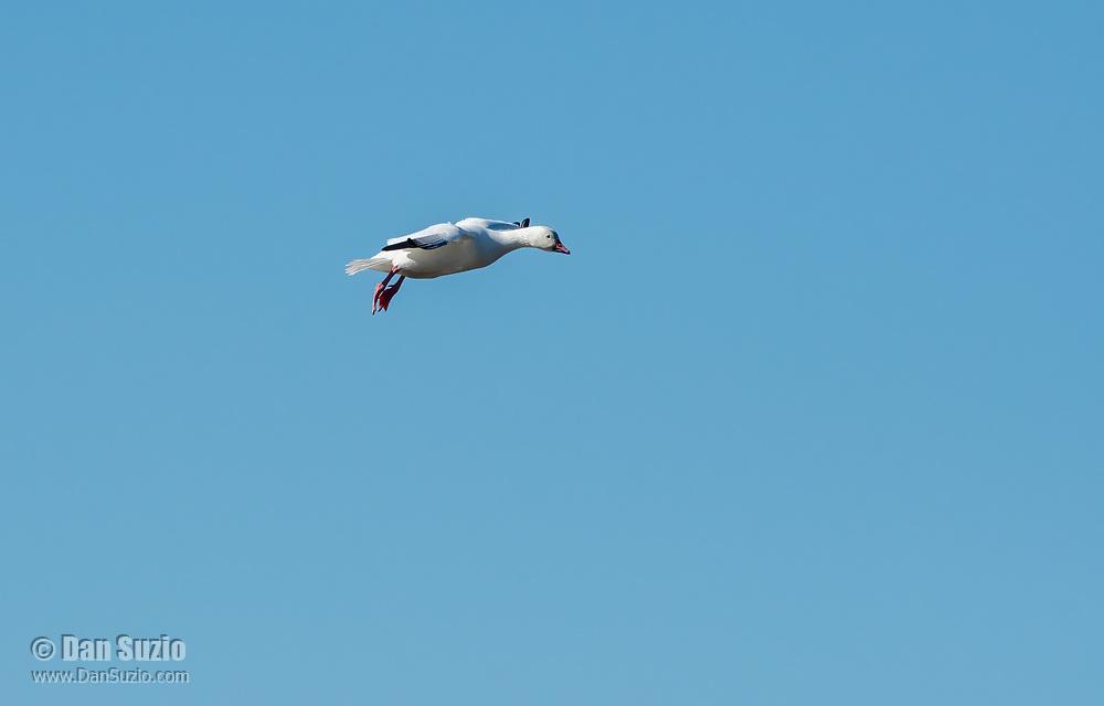 A Snow Goose, Chen caerulescens, flies over Sacramento National Wildlife Refuge, California
