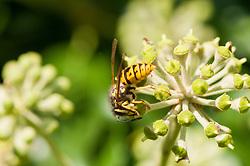 Duitse wesp, Vespula germanica