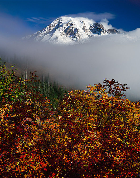 Mount Rainier and mountain ash, October, Stevens Canyon, Mount Rainier National Park, Washington, USA