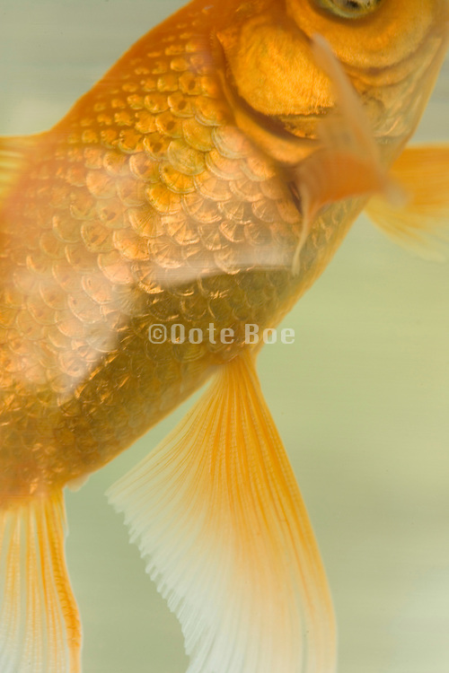 close up of a goldfish in a fishbowl