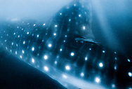 Whale shark with a remora on its dorsal fin swimming in the Gulf of California, Mexico