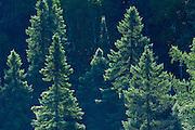 Black spruce  trees backlit<br /> Algonquin Provincial Park<br /> Ontario<br /> Canada