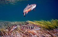 Group of Juvenile Brook Trout<br /> <br /> Patrick Clayton/Engbretson Underwater Photography