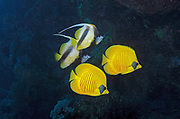A pair of Addis or Masked Butterflyfish, Chaetodon semilarvatus, swimming together with a pair of Red Sea Bannerfish, Heniochus intermedius, in Marsa Alam, Red Sea, Egypt