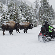 Snowmobilers pass a pair of bison in Yellowstone National Park.