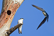 Pair of Tree Swallows  at their nest in a tree hollow, one in flight.(Tachycineta bicolor).Bolsa Chica Wetlands,California