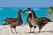 Three black footed albatross with beaks together