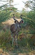 Male greater kudu walking in bush