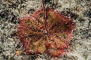 Dwarf sundew (Drosera brevifolia)<br /> Little St Simon's Island, Barrier Islands, Georgia<br /> USA