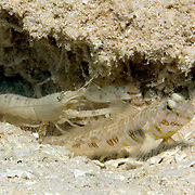 Orangespotted Goby inhabit burrow in sand, mud or silt, built and maintained by commensal snapping shrimp, in Tropical West Atlantic; picture taken Utila, Honduras.