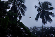 A Ngembu bat is flying between trees in the plantation of Claudio Corallo on the island of Principe, in Sao Tome and Principe, (STP) a former Portuguese colony in the Gulf of Guinea, West Africa.