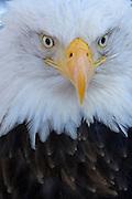 Bald Eagle, Haliaeetus leucocephalus, Portrait, Kenai Peninsula, Homer Spit, Homer, Alaska. Digital original, #2006_0560 ©Robin Brandt