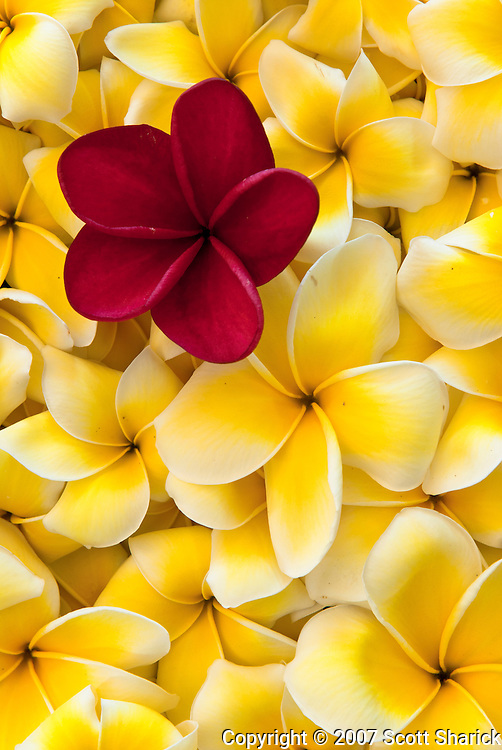 A single red plumeria sits on many yellow and white plumeria.