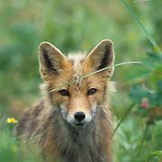 Red Fox, (Vulpus fulva)  In wildflowers on the Aleutian Islands. Alaska.