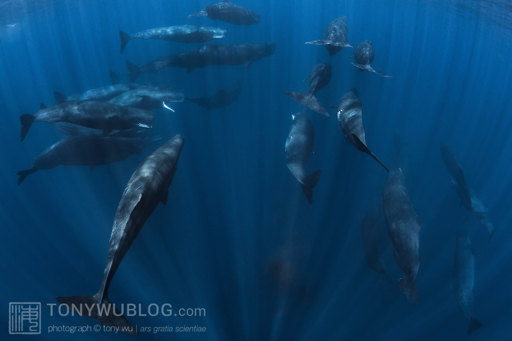 A group of twenty three sperm whales (Physeter macrocephalus) traveling together. These whales (all females and immature individuals) were part of a much larger aggregation or superpod that I estimated to comprise around 100 individuals. The reason for such a large gathering is unclear, though it may have something to do with reproduction. Some time after this encounter, I came across another large group in the same area, which included a mature bull. Mature male sperm whales spend most of their time in colder waters, visiting tropical and temperate waters for the purpose of mating. The cloud of dark substance in the foreground is defecation from one of the whales, something which sperm whales seem to do often when they are at the surface.