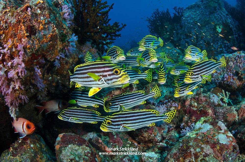 A school of Oriental Sweetlips, Plectorhinchus vittatus, hover amidst soft corals on a rocky reef. Fish Rock, Andaman Islands, India, Andaman Sea