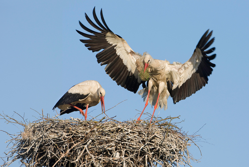 White stork (Ciconia ciconia) adult alighting at nest with nest material. Lithuania, May 2009. Mission: Lithuania