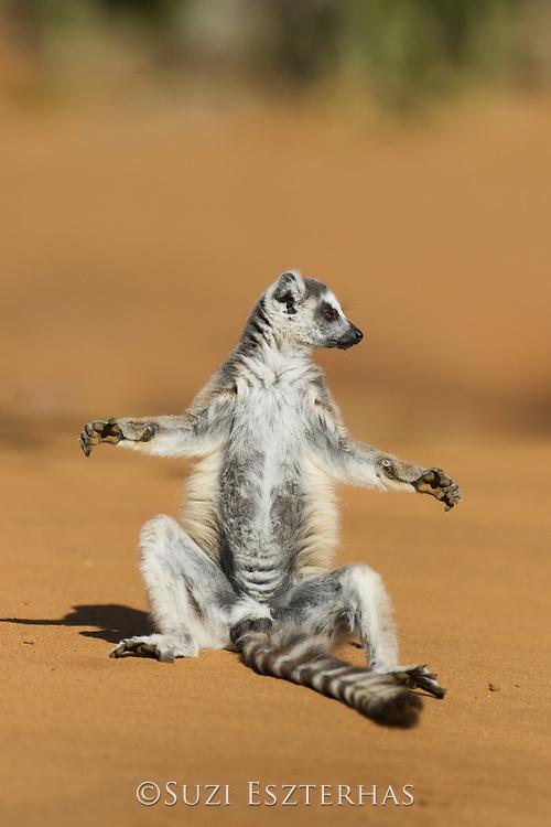 Ring-tailed Lemur<br /> Lemur catta<br /> Sun bathing at sunrise<br /> Berenty Private Reserve, Madagascar