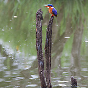 Malachite kingfisher (Alcedo cristata). Skukuza. Kruger National Park. South Africa. Organization for Tropical Studies Trip 2009.