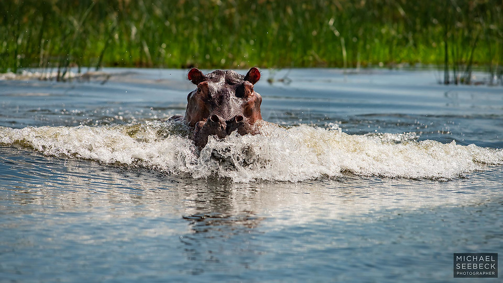 A hippopotamus charging on the banks of the Kazinga Channel, Queen Elizabeth National Park Uganda.<br /> <br /> Available as an open edition print & available as rights-managed stock.<br /> <br /> Code: WFUW0001