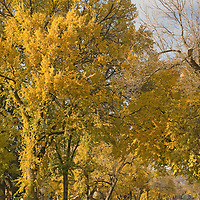 Fall-colored beech trees line Willson Avenue in Bozeman Montana, 2007.