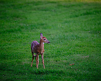 Alpha Fawn. Image taken with a Fuji X-T3 camera and 200 mm f/2 lens