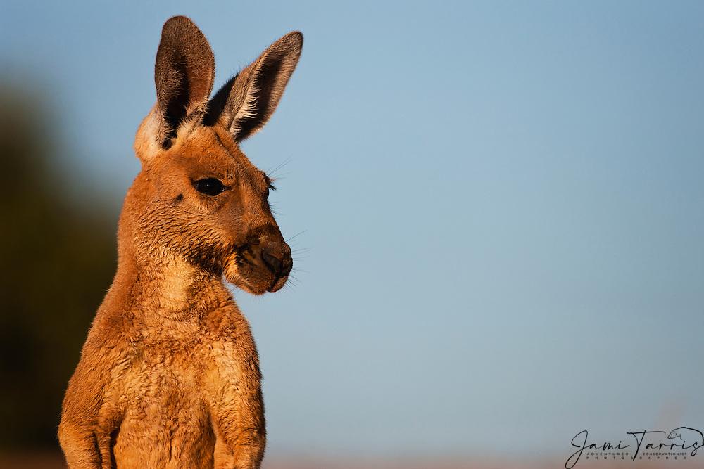 An adolescent male red kangaroo (Macropus rufus) portrait,  Sturt Stony Desert,  Australia