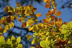 Herfstblad, Autumn leave