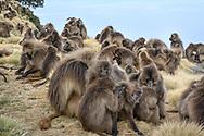 Eine grosse Dschelada-Gruppe (Theropithecus gelada) am Rand der Felswände bei der Abbruchkante am Morgen, Simien Nationalpark, Debark, Region Amhara, Äthiopien<br /> <br /> A large Dschelada group (Theropithecus gelada) on the edge of the rock face at the edge in the morning, Simien National Park, Debark, Amhara region, Ethiopia