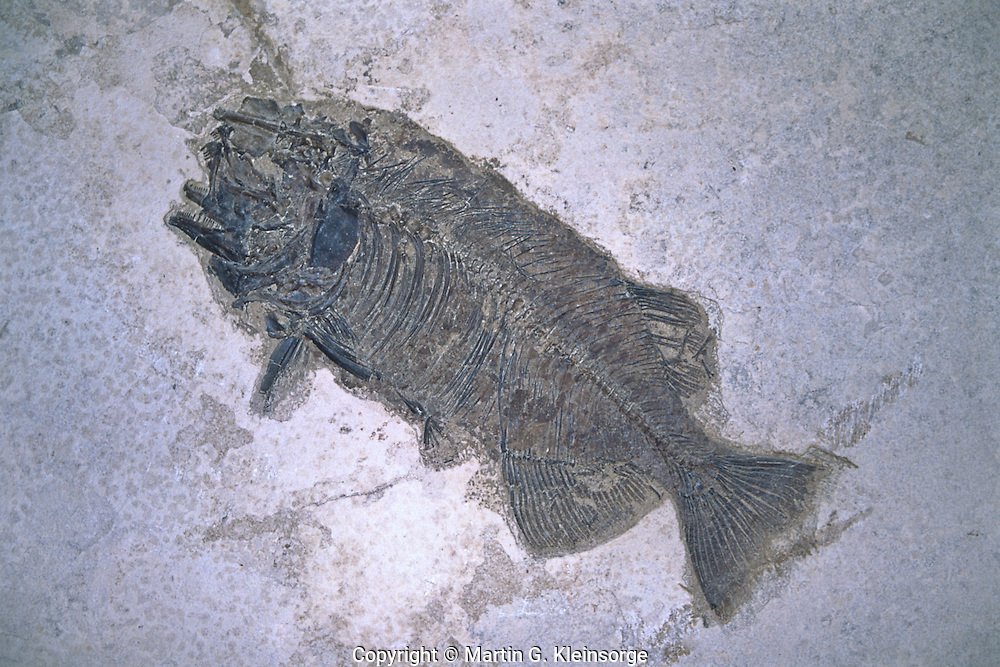 Fossil of a Bass, found in the Green River Formation in Southwestern Wyoming.