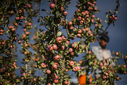 September 30, 2018 - Srinagar, Kashmir, India - A Kashmiri farmer pick fresh apples from a tree in an orchard during harvesting season on October 1, 2018 in Tral, south of Srinagar, the summer capital of Indian administered Kashmir, India. Apple harvest is at its peak, but farmers are saying that the prices this year have slumped in major markets across India. To add to their disadvantage are the rising freight rates by the truckers who ferry them to Indian markets.  (Photo by Kabli Yawar / Nur Photo) (Credit Image: © Kabli Yawar/NurPhoto/ZUMA Press)