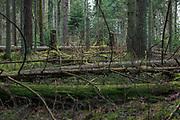 Fallen trunks of wind felled spruces (Picea abies) in various decomposition stages in boreal forest creating a natural garden for polypore species, Kemeri National Park (Ķemeru Nacionālais parks), Latvia Ⓒ Davis Ulands | davisulands.com