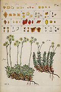 hand painted Botanical illustration of flower details leafs and plant from Miscellanea austriaca ad botanicam, chemiam, et historiam naturalem spectantia, cum figuris partim coloratis. Vol. II  by Nicolai Josephi Jacquin Published 1781. Figure 21