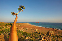 Yemen, ile de Socotra, plage de Dihamri, Rose du desert Socotra, Adenium Obesum ssp. Sokotranum // Yemen, Socotra island, Dihamri beach, Rose of Desert, Adenium Obesum ssp. Sokotranum