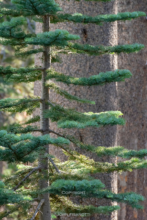 Young and old conifers