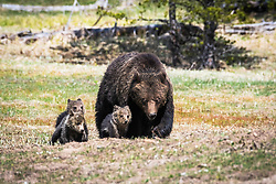 Wyoming Grizzly Bear family out for an afternoon stroll.