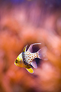SHOT 1/19/19 12:11:13 PM - The pajama cardinalfish, spotted cardinalfish, coral cardinalfish, or polkadot cardinalfish (Sphaeramia nematoptera) is a species of fish belonging to the family Apogonidae. It is a popular aquarium fish. It grows to a total length around 8.5 cm (3.3 in) and features distinctive red eyes and a broad, dark, vertical 'waistband' with scattered red spots toward the tail. It is considered to be of low vulnerability, and is distributed throughout much of the western Pacific Ocean, from Java to Fiji, and from the Ryukyu Islands south to the Great Barrier Reef. The Denver Zoo is an 80-acre zoo located in City Park in Denver, Colorado. Founded in 1896, it is owned by the City and County of Denver and funded in part by the Scientific and Cultural Facilities District (SCFD). It is the most popular paid attraction in the Denver metropolitan area. The Denver Zoo houses species from all over the world, including hoofed mammals, carnivorous mammals, primates, pachyderms, birds, reptiles, and fish. The zoo's animal collection contains 4,125 specimens representing 613 unique species. (Photo by Marc Piscotty / © 2018)