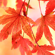 Autumn foliage on a sunny day, Japanese momiji maple leaves in Nagano Prefecture, near Kawaguchi-ko, one of the five major lakes around Mt. Fuji
