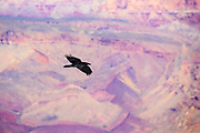 A common raven (Corvus corax) flies over Grand Canyon National Park in Arizona. A wall of the Grand Canyon is visible in the background and is partially reflected on the raven's shiny feathers.