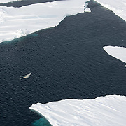 Beluga whales (Delphinapterus leucas) come to the surface of the Beaufort Sea among chunks of broken ice. Kaktovik, Alaska.