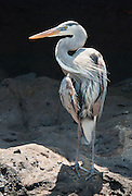 Great Blue Heron (Ardea herodias) at Tagus Cove on Isabela (Albemarle) Island, in the Galápagos Islands, a province of Ecuador, South America. The Great Blue Heron is a large wading bird in the heron family Ardeidae, common near the shores of open water and in wetlands over most of North and Central America as well as the West Indies and the Galápagos Islands. It is a rare vagrant to Europe, with records from Spain, the Azores and England. Isabela, the largest island of the Galápagos archipelago, was named in honor of Queen Isabela.
