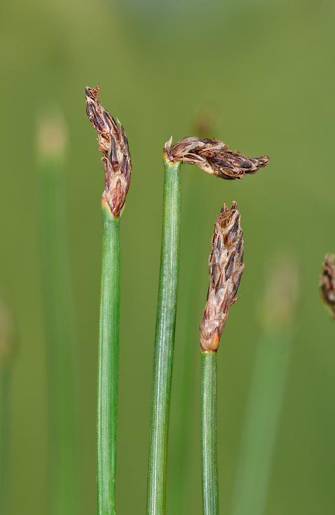 Slender Spike-rush - Eleocharis uniglumis