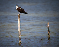 Osprey perched on a post.  Biolab Road, Merritt Island National Wildlife Refuge. Image taken with a Nikon D4 camera and 600 mm f/4 VR lens (ISO 100, 600 mm, f/4, 1/2500 sec).