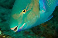 parrotfish<br /><br />Canales de Afuera Islands<br />Coiba National Park<br />Panama