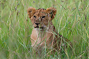 Lion cub (Panthera leo), Masai Mara, Kenya