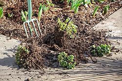 Lifting and dividing perennials in spring - Sedum spectabile syn. Hylotelephium spectabile