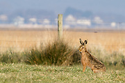 Brown hare (Lepus europaeus) on the shores of Poole Harbour. Dorset, UK.