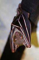 Short nosed fruit bat, Koh Samet, Thailand