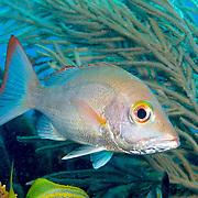 Mahogany Snapper inhabit reefs, in Tropical West Atlantic; picture taken Key Largo, FL.