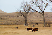 Cattle grazing on a cattle farm in Wyoming WY USA